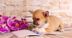 Beautiful puppy lying on a notebook Stock Photos