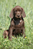 Beautiful puppy od German Shorthaired Pointer Stock Photography