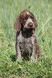 Beautiful puppy od German Shorthaired Pointer Stock Photo