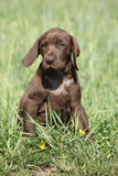 Beautiful puppy od German Shorthaired Pointer Royalty Free Stock Image