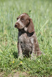 Beautiful puppy od German Shorthaired Pointer Royalty Free Stock Photo