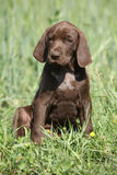 Beautiful puppy od German Shorthaired Pointer Stock Images
