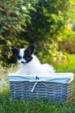 The puppy is in the basket Stock Photography