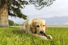 The beautiful puppy of retriever gnaws branch Royalty Free Stock Images
