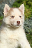 Beautiful puppy of siberian husky in the garden Royalty Free Stock Photos