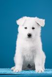 Beautiful puppy of White Swiss Shepherd Dog Stock Image
