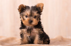Beautiful puppy Yorkshire Terrier posing royalty free stock photography