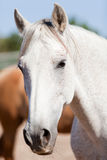 Beautiful pura raza espanola pre andalusian horse Stock Photos
