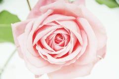 Beautiful pure rose shot Stock Photos