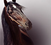 Beautiful purebred Andalusian stallion at gradient  background. Stock Photography