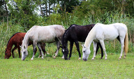 Beautiful purebred arabian horses grazing on pasture summertime. Group of thoroughbred arabian foals and mares grazing fresh green grass Royalty Free Stock Image