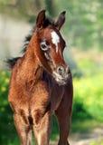 Beautiful purebred arabian little foal Stock Photo