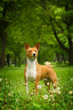Beautiful purebred Basenji dog. Walking outdoors in summer royalty free stock photography