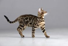 Free Beautiful Purebred Bengal Cat In A Studio With Light Gray Background Stock Photography - 160760322