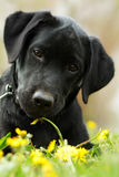 Beautiful purebred black Labrador puppy is lying on the summer g. Rass with dandelions and looking directly at the camera. Good family dog resting on the nature stock photos