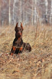 Beautiful purebred brown Doberman champion Royalty Free Stock Photo