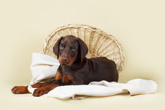 Beautiful purebred brown Doberman puppy is lying on a beige back Stock Images