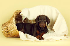Beautiful purebred brown Doberman puppy is lying on a beige back Royalty Free Stock Photography