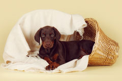 Beautiful purebred brown Doberman puppy is lying on a beige back Royalty Free Stock Images