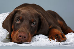 Beautiful purebred brown Doberman puppy very sad, put his head a. Nd looks at you. The concept of compassion and love for animals stock image