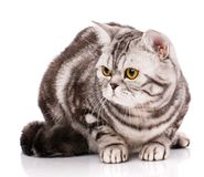 Beautiful, purebred cat. Kitten - portrait of cat. Siting on a white background Stock Images