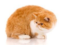 Beautiful, purebred cat. Kitten - portrait of Exotic cat. Siting on a white background Stock Image