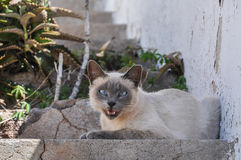 Beautiful purebred cat sitting outside on a step Royalty Free Stock Images