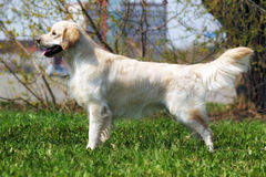 Beautiful purebred dog Golden Retriever standing in the show pos Stock Image