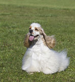 Beautiful purebred dog on green grass Royalty Free Stock Images