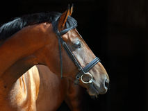 Beautiful purebred dressage horse in dark stable Stock Images