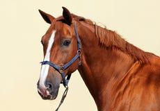 Beautiful purebred dressage horse Royalty Free Stock Image