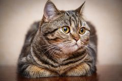 Kitten portrait of Scottish cat stock photos