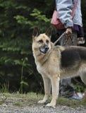 Beautiful purebred german shepherd. Held on leash before training royalty free stock image