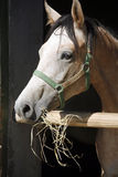 Beautiful purebred gray arabian horse standing in the barn door Royalty Free Stock Photo