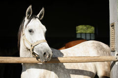 Beautiful purebred gray arabian horse standing in the barn door Royalty Free Stock Photography