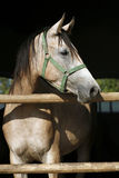 Beautiful purebred gray arabian horse standing in the barn door Royalty Free Stock Image