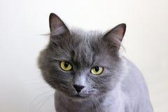 Beautiful purebred gray cat. Close up stock photos
