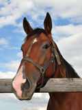 Beautiful purebred horse Stock Images