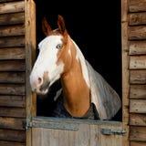 Beautiful purebred horse Royalty Free Stock Photo