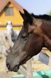 Beautiful purebred horse over stable door Stock Photo