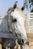 Beautiful purebred horse over stable door Stock Image