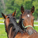 Beautiful purebred horses Stock Image