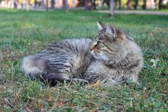 Beautiful purebred Maine Coon grey tabby cat lying in deep green grass.  royalty free stock photography