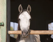 Beautiful purebred mare looking over stable door Stock Images
