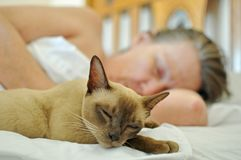 Pet cat sleeping on bed with mature older woman. A beautiful purebred pet Burmese breed young cat or kitten is sleeping on the soft sheets of the bed next to her Stock Photography