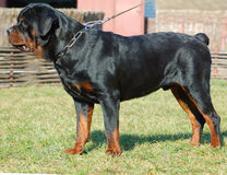 Beautiful purebred rottweiler. Cute watching dog Stock Photos