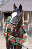 Beautiful purebred saddle horse wearing colorful christmas wreath on advent weekend at rural equestrian club. Dreamy image of a saddle horse wearing a beautiful stock photo