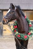 Beautiful purebred saddle horse wearing colorful christmas wreath on advent weekend at rural equestrian club. Dreamy image of a saddle horse wearing a beautiful royalty free stock photos
