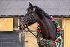 Beautiful purebred saddle horse wearing colorful christmas wreath on advent weekend at rural equestrian club. Dreamy image of asaddle horse wearing a beautiful royalty free stock photos