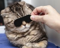 A beautiful purebred Scottish Fold cat made a stern face when a person brought a object like glasses to her eyes. Close-up royalty free stock photo